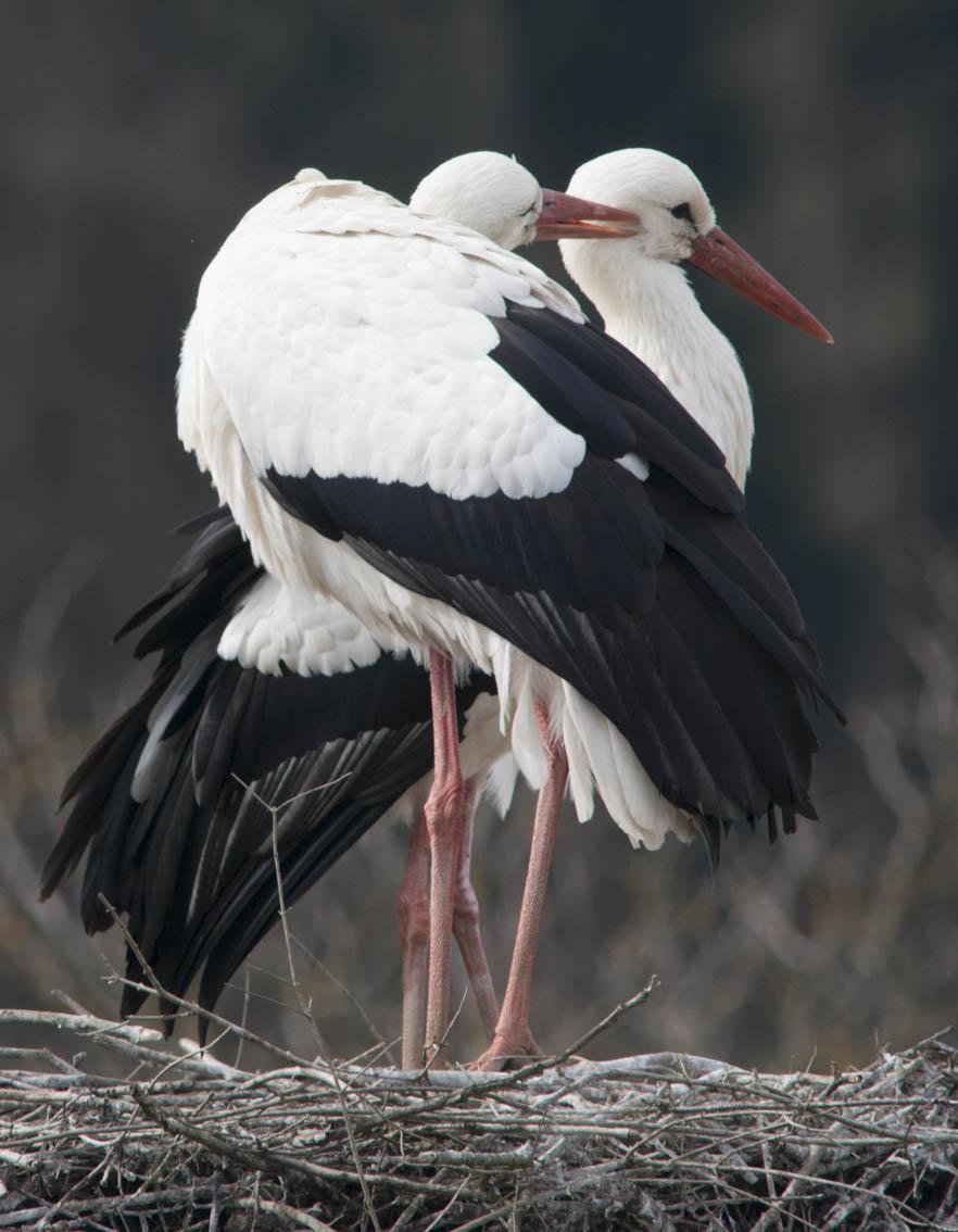Storch schnaebelt seinen Partner im Gefieder
