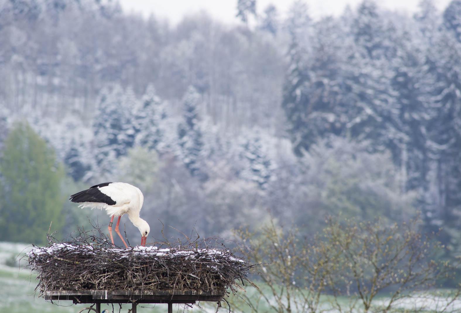 Storch bruetet im Schnee