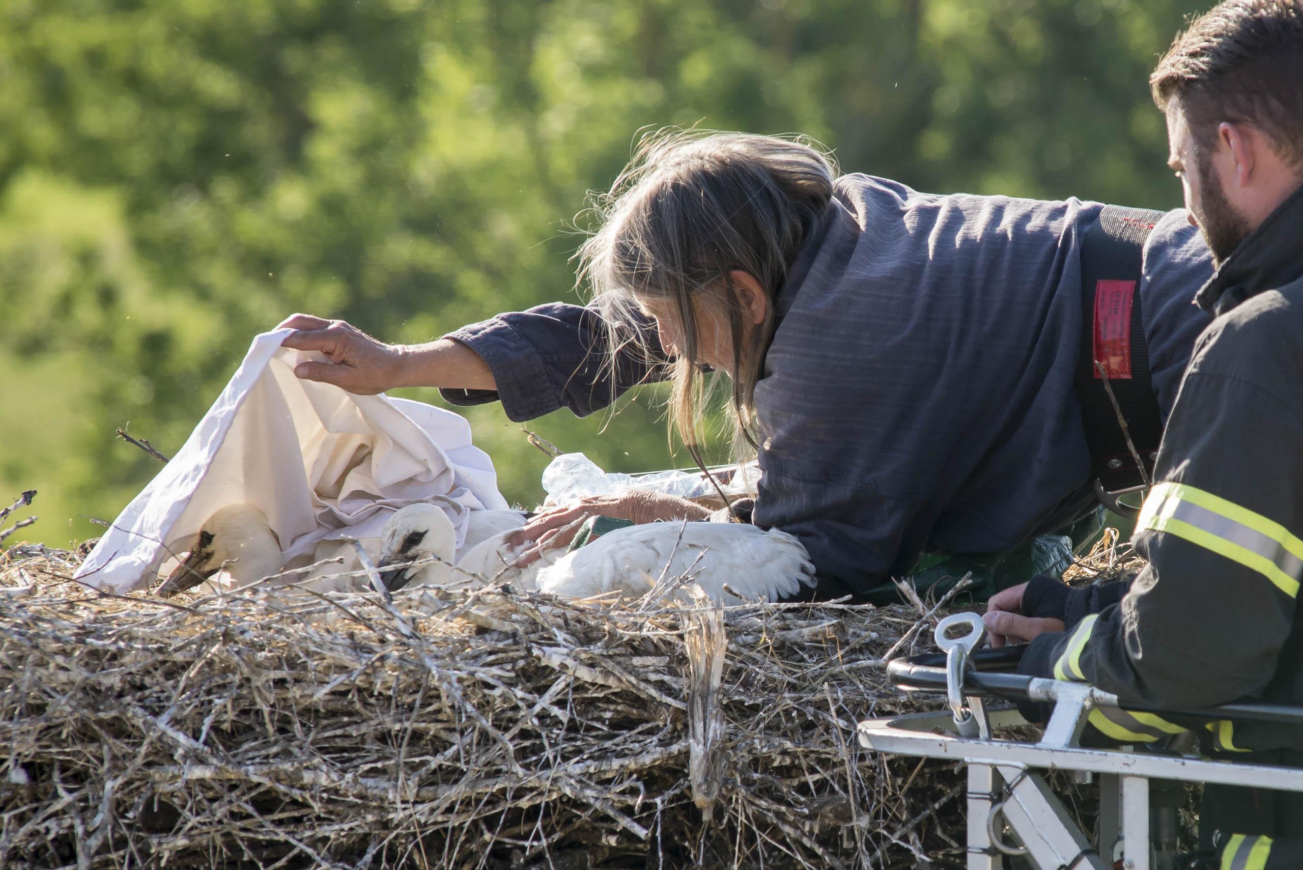 Störche 2017, Kalli 3.0 , Beringung der Jungstörche