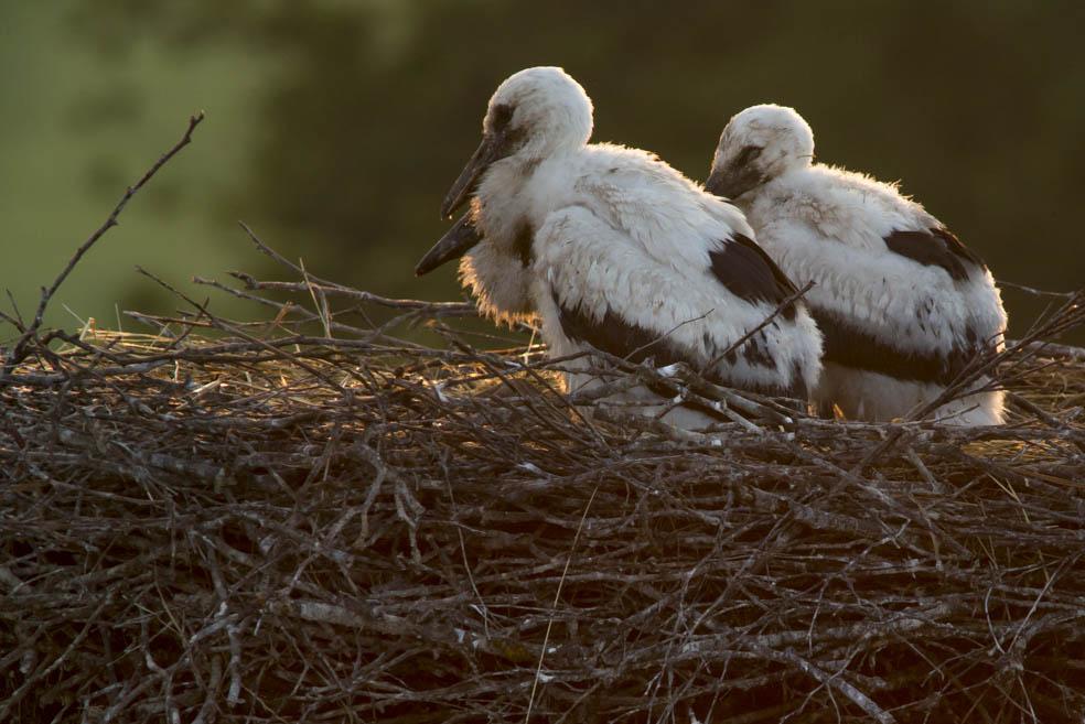Storchenjunge allein zu hause im Storchenhorst bei Abendlicht.